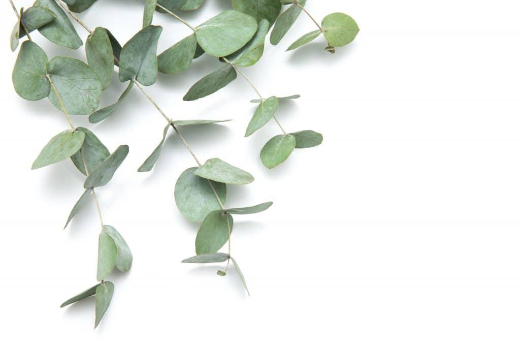 feuilles d'eucalyptus globulus